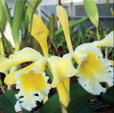 Cattleya Ophir orchid plant (dowiana x iricolor)