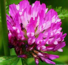 Rotklee - Klee Trifolium Pratense - 10000 Samen  Heilpflanze Futterpflanze 1409
