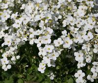 ARABIS WALL ROCK CRESS WHITE SNOW PEAK Arabis Alpina Caucasica - 100 Bulk Seeds