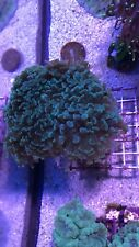 New listing live coral colony. Blue/green Hammer Corals 4-5 Heads. Large Coral.