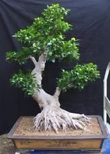 Bonsai - riesiger chinesischer Feigenbaum 115 cm - Zimmerbonsai - Ficus retusa