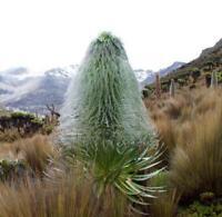 Lobelia telekii - Very Unusual Giant Lobelia - 10 Seeds ** Very Rare **