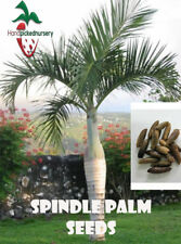 10 Spindle Palm seeds, ( Hyophorbe verschaffeltii ) from Hand Picked Nursery