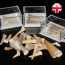 Shark Teeth Fossil in Display Case Megalodon White Tooth Children Party Gift