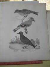 Vintage Print,DIPPER#16,Nature,1871,Folio,Peale,Audubon,Rider
