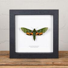 More details for verdant hawk moth in box frame (euchloron megaera)