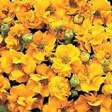 Geum flore plena 'Sunrise' / Hardy perennial / New variety / 30 seeds