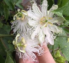 Passiflora incarnata var. alba Live ROOTS White Maypop wild passion fruit flower