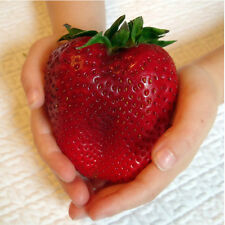 FRAGOLA GIGANTE - GIANT STRAWBERRY, 50 SEMI A PREZZO SPECIALE