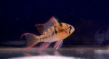"""Live Peaceful Freshwater Cichlid Fish - 2"""" Bolivian Ram ( Red Fin / Butterfly)"""