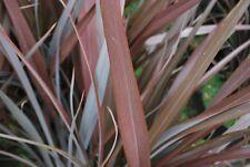 Phormium tenax Red Sensation in 9cm pot