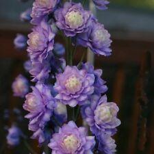 Delphinium x cultorum /'Magic Fountains Lavender 1 x Staude Pflanze Rittersporn