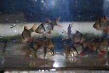 (6) Tiger Barb Barbs Live Fish Tropical Cyprinid Tetra Danio Guppy