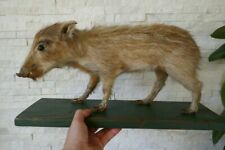 OLD LOVELY *WILD BOAR BABY*, TAXIDERMY COLLECTORS, about 1970