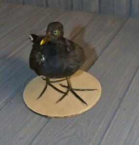 Taxidermy marsh hen black Gallinula chloropus Stuffed Hunting trophy