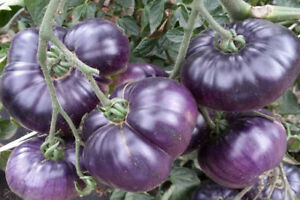 Seeds Tomato Violet Rare Vegatable NON-GMO Organic Heirloom