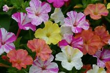 Mirabilis jalapa marble mix Flower seeds From Ukraine
