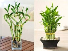 20pcs/bag,Lucky Bamboo seeds,potted balcony, planting is simple,budding rate 95%