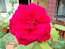 Rose Climber Tree Plant Red Large Flower Healthy Fresh Seeds 12+