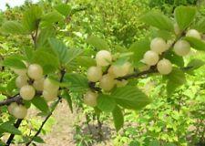 Fragrant Grape Seeds Green Heirloom Sweet Delicious Fruit Organic Edible Garden