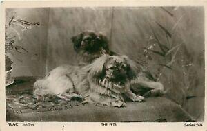 TIBETAN SPANIEL VINTAGE REAL PHOTO POSTCARD - THE PETS WILDT & KRAY SERIES 269
