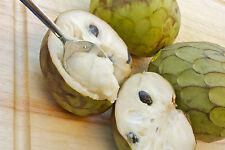Apple ANNONA cherimola il più delizioso frutta noto all' umanità - 5 semi