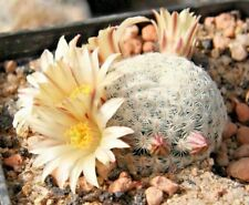 mammillaria solisioides 10 seeds rare cactus graines samen