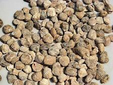 Genuine Bulk Fossil Clams - 20 pieces - great for Dinosaur birthday parties