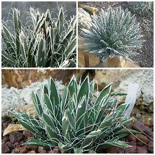 10 semi di agave polyantiflora, succulente,seed succulents