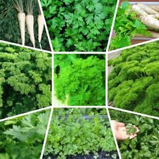 100 Parsley Vegetable Apium Seeds 28 Kinds Garden Fragrant Spice non-GMO Organic