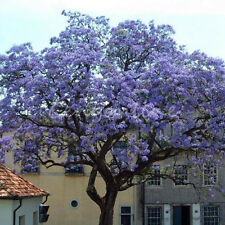 100Pcs Purple Flower Paulownia Tree Kiri Tomentosa Seeds Outdoor Living Plants