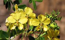 Senna Mexicana v. Chapmanii exotic cassia RARE BAHAMA Chapman plant seed 5 seeds