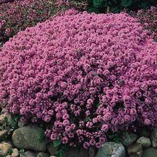 Thymus serpyllum (50 graines/seeds )