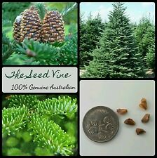 10+ FRASER FIR TREE SEEDS (Abies fraseri) Evergreen Pine Hardy Christmas Season