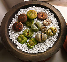 LITHOPS MIX - LIVING STONES - SASSI VIVENTI, 15 SEMI