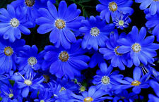 Blue Daisy Seeds, Felicia The Blues, Non-Gmo Flower Seeds, Annual Flower, 50ct