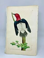 Red-headed Woodpecker - 1783 RARE SHAW & NODDER Hand Colored Copper Engraving
