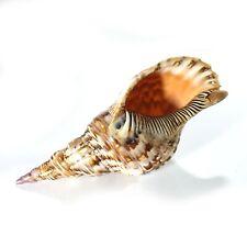 Extra large Triton's Trumpet or Triton seashell 'Charonia' Grade B WYSIWYG 27cm