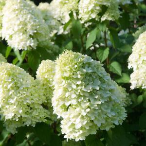 Hydrangea paniculata 'Limelight' - 2 litre pot - ready to plant