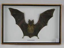 Echte Fledermaus - CYNOPTERUS BRACHYOTIS -  3D hinter Glas in Holzbox   30x20cm