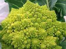 Broccoli Romanesco Seeds (Approx 300 Seeds) Unusual Garden Vegetable