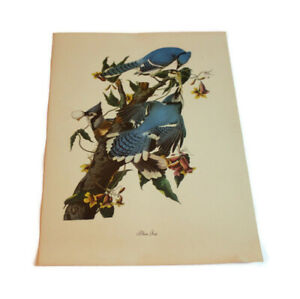 "Vtg Bird Print Audubon Blue Jay Eating Egg 12"" by 8.75"" Nature Wildlife"