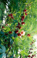 Best 250 Seeds Roselle Hibiscus Herb Jamaica Sorrel Red Flowers Cranberry Seeds+
