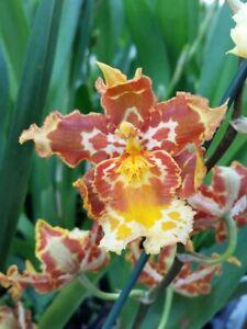 Orchid Wilsonara 'Brown Butter'