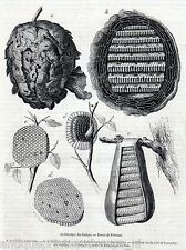 Antique print wasp nest / wasps nests 1858 holzstich wesp Wespen / Vespinae