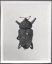 Unusual Vintage Photo Beetle Bug Scientific Specimen Entomology 258121