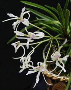 Neofinetia falcata Shunkyuden (Vanda falcata Shunkyuden) 춘급전 春及殿
