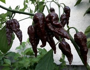 Chocolate Naga Jolokia Chilli Seeds - Bhut Jolokia - Ghost Chilli - UK STOCK