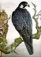 Large Art Poster Print PEREGRINE FALCON Wildlife Art Bird of Prey