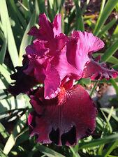 Red Tall Bearded Iris Wearing Rubies perennial plant rhizome
